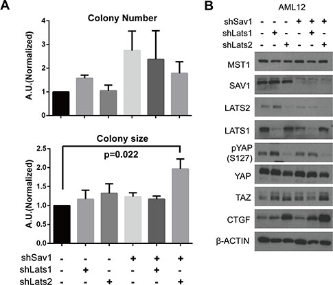 Abrogation of negative feedback on YAP in a cell line causes a tumor-associated phenotype.
