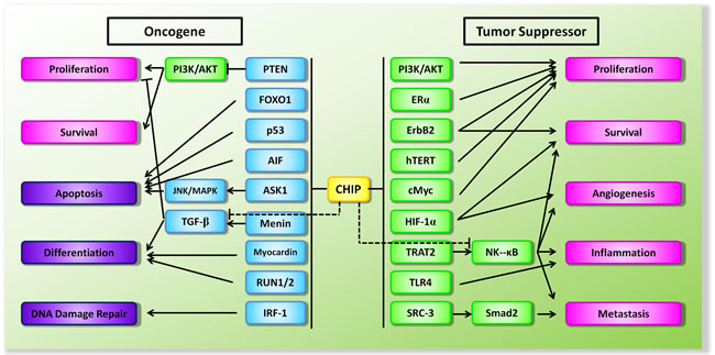 Schematic diagram of the dual functions of CHIP in the context of tumorigenesis.