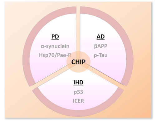 Schematic diagram of the substrates of CHIP in several well-studied neruodegenerative disorders.