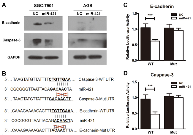E-cadherin and caspase-3 are targets of miR-421.