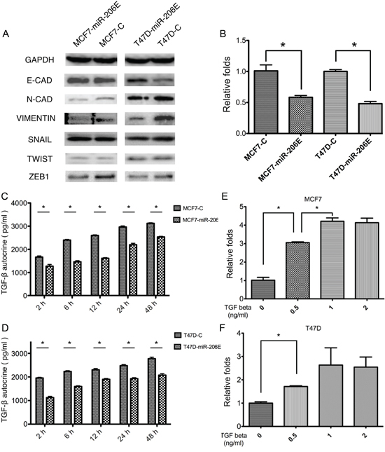 MicroRNA (miR)-206 suppresses the epithelial mesenchymal transition (EMT) by targeting transforming growth factor (TGF)-β transcription and autocrine expression.