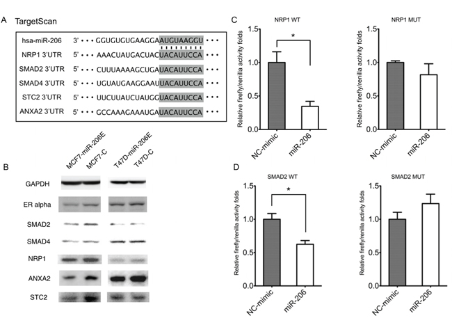 MiR-206 targets TGF-β signaling genes.