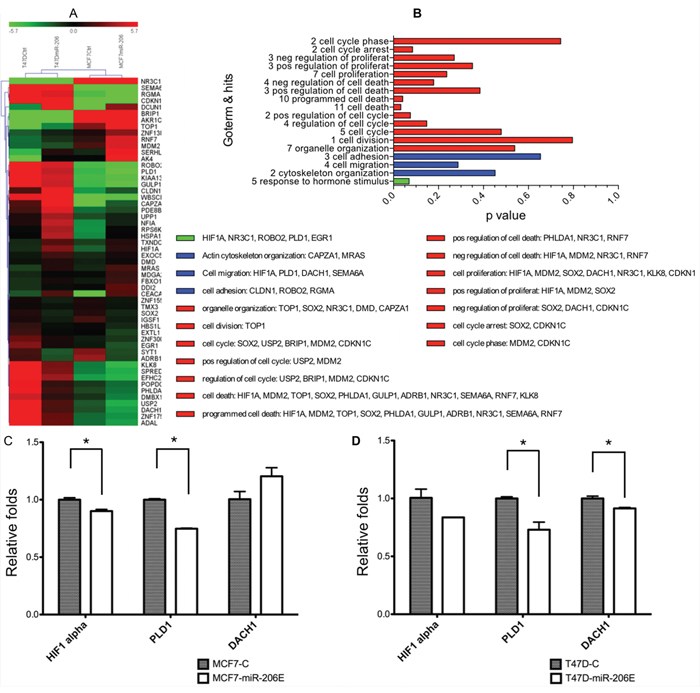 MiR-206 overexpression downregulates phospholipase D1 (PLD1).