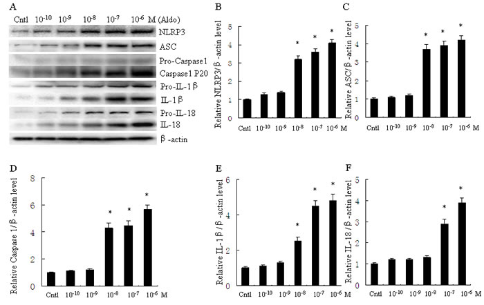 Aldo dose-dependent activated NLRP3 inflammasome in HK-2 cells.