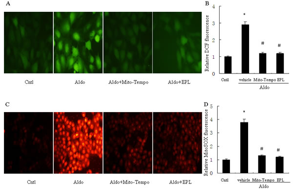Treatment with Mito-Tempo or EPL prevents Aldo-induced mitochondrial ROS production.