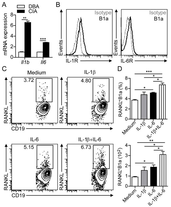 IL-1β and IL-6 induce RANKL expression in B1a cells.