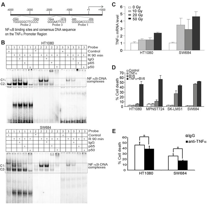 Radiation-induced NF-κB directly regulates TNFα transcription that acts in concert with BV6 to induce tumor cell death.