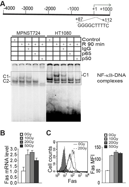 Radiation induces NF-κB to regulate FAS transcription.