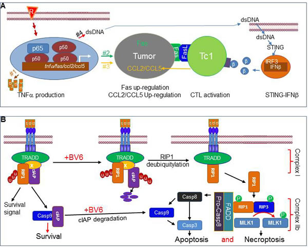 Model of radiation modulation of NF-κB and CTL anti-tumor immune response in the tumor microenvironment.
