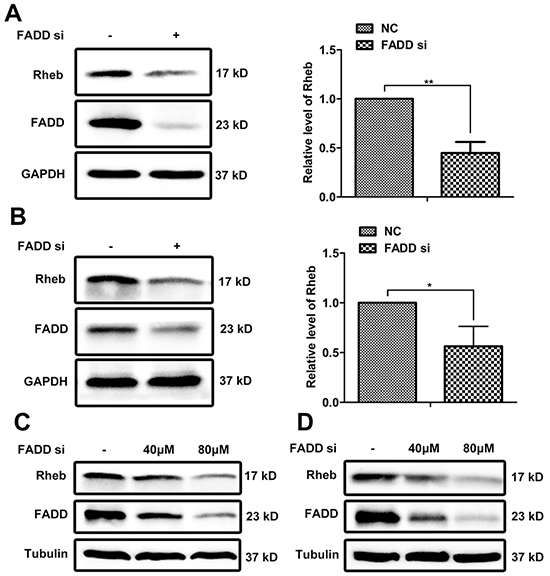 FADD interference downregulated Rheb expression.
