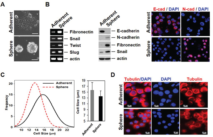 Mammosphere cultured MCF-7 cells acquire EMT phenotypes with variability in properties.