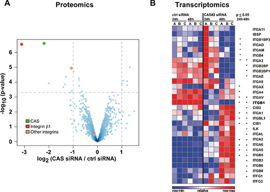Integrin ß1 protein and transcript are reduced after CAS silencing.