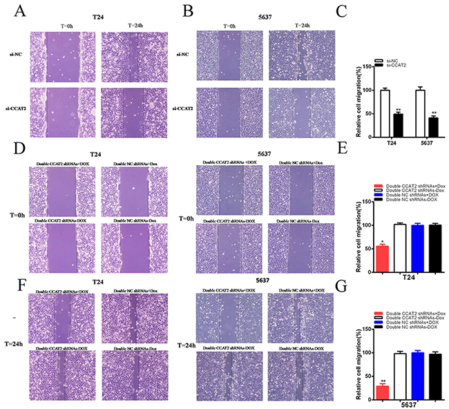 Cell migration was suppressed after transfection of si-CCAT2 or double CCAT2 shRNAs vectors.