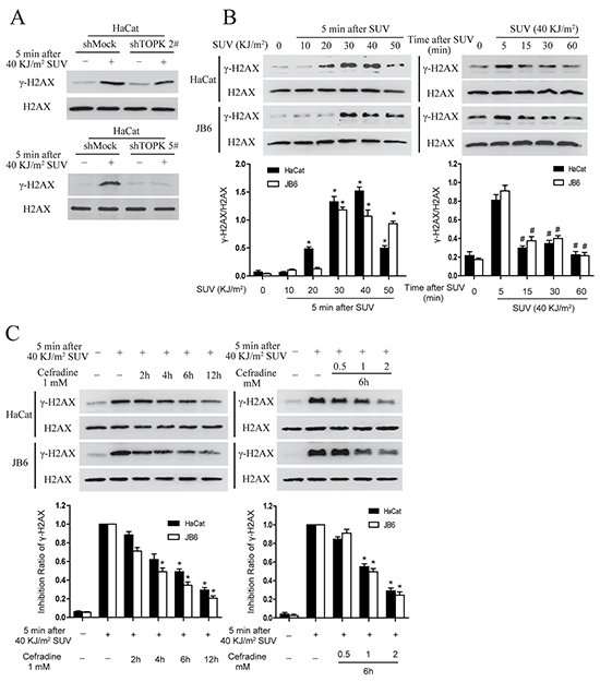 Cefradine suppresses SUV-induced DNA damage through inhibiting TOPK activity in a dose and time dependent manner in the HaCat and JB6 cells.