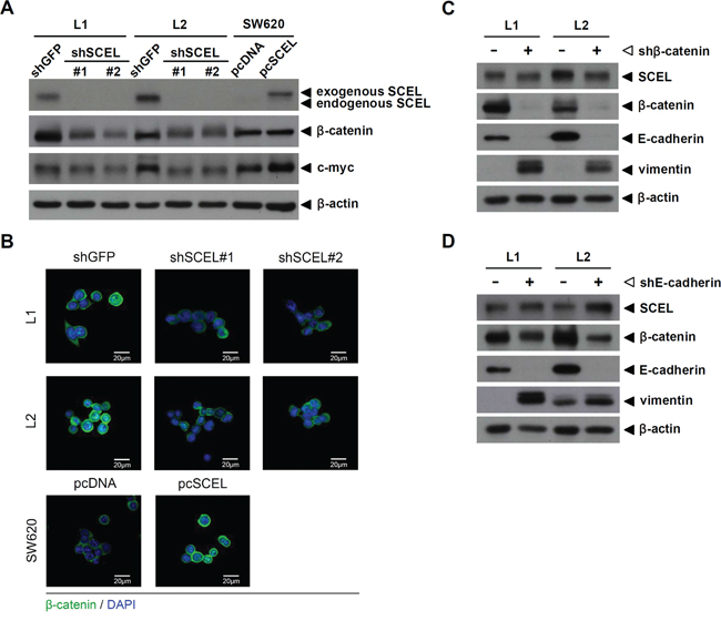 SCEL activates the Wnt signaling pathway.