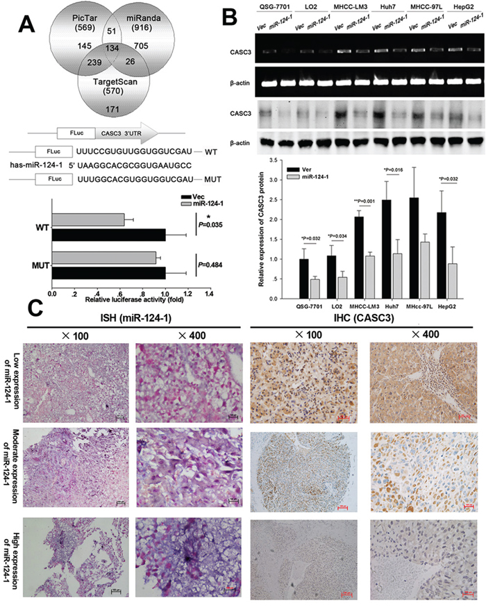 MicroRNA-124-1 downregulates CASC3 expression by directly targeting its 3′-UTR.