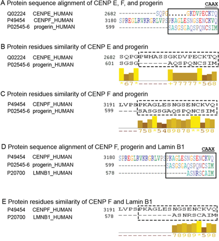 Progerin C-terminal sequence is similar to CENP-F terminus.