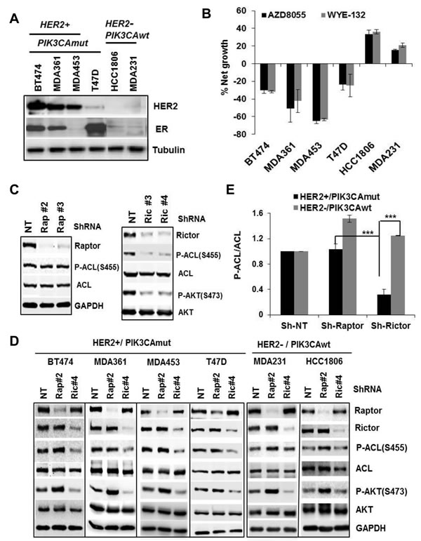Phospho-ACL is a molecular target of mTORC2.