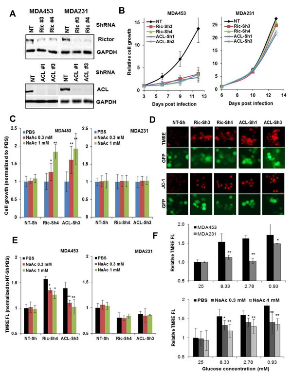 mTORC2-ACL inhibition perturbs cell growth and m∆ψ, which involves homeostasis of glucose and acetyl-CoA.