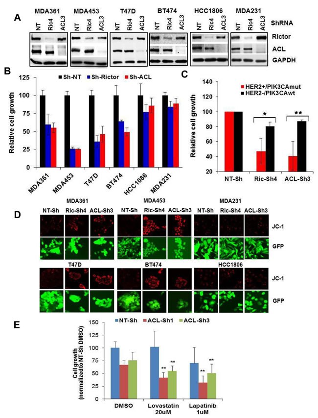 Depletion of mTORC2 or ACL broadly inhibits growth in HER2/PIK3CA-hyperactive breast tumor cells.