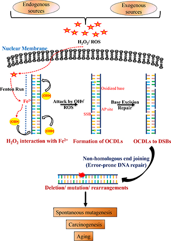 Schematic model for combined roles of OCDLs and error-prone NHEJ in oxidative stress-induced mutagenesis.