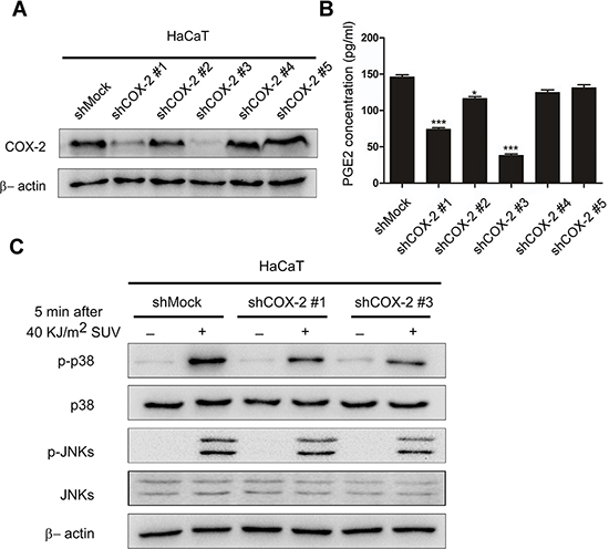 Knocking down COX-2 inhibites SUV-induced the phosphorylation of p38 or JNKs in HaCaT cells.