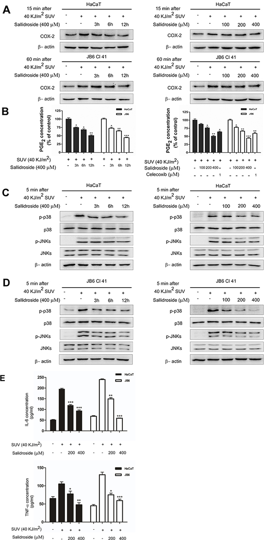 Salidroside inhibits the activity of COX-2, decreases the activation of p38 or JNKs signaling pathway and production of inflammatory factors in SUV-irradiated cells.