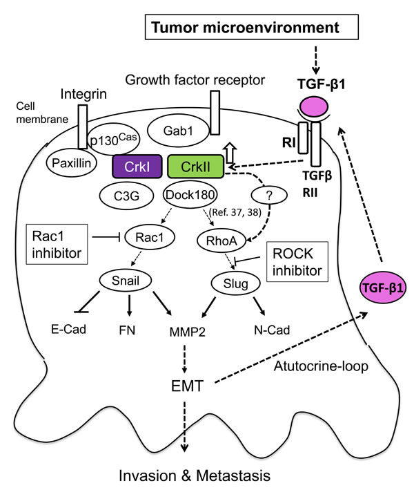Schematic of the signaling mechanism of collaboration between TGF-β and Crk to induce EMT in human cancer cells.