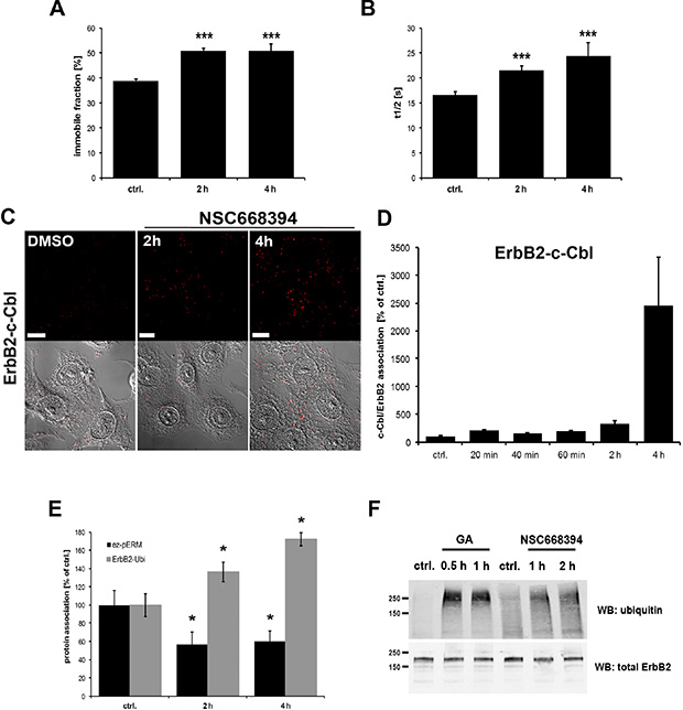 Effect of ERM inhibition on ErbB2 membrane mobility and association to ubiquitin.