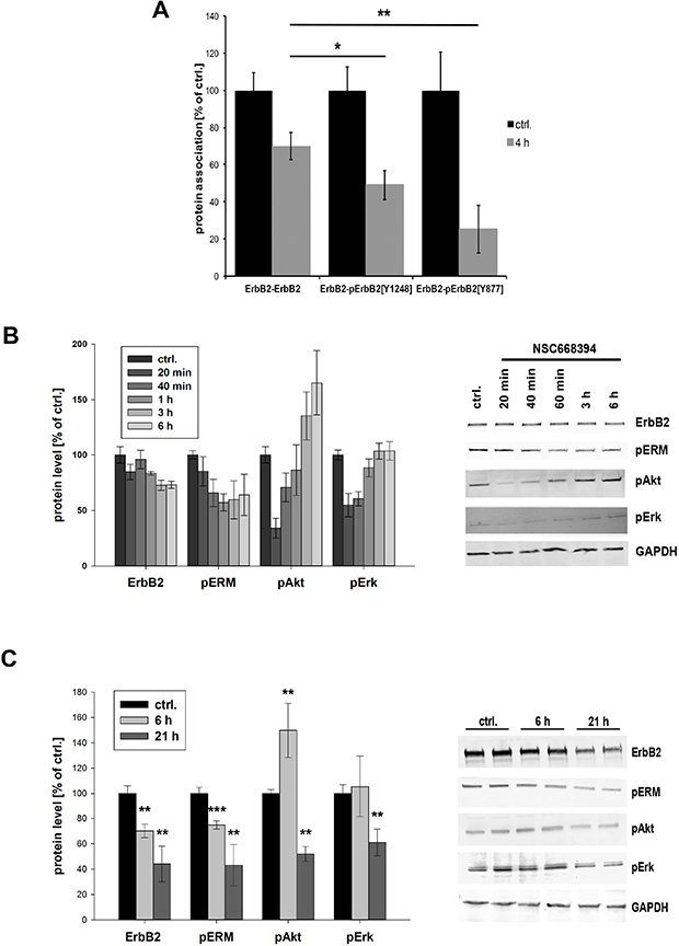 Phosphorylation status and downstream signaling of ErbB2 after ERM inhibition.