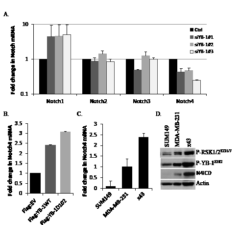 Notch4 transcript levels are reduced by blocking YB-1 signaling and correlate with P-YB-1