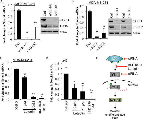 Inhibiting YB-1, RSK1 or RSK2 or blocking activation of YB-1 with RSK inhibitors repressed Notch4 mRNA and N4ICD.
