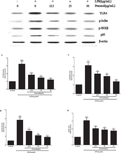 Paeonol modulates LPS-stimulated DCs by TLR4-NF-κB signaling.