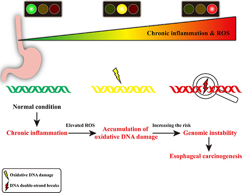 Schematic diagram of chronic inflammation-related DNA damage gears up esophageal carcinogenesis.