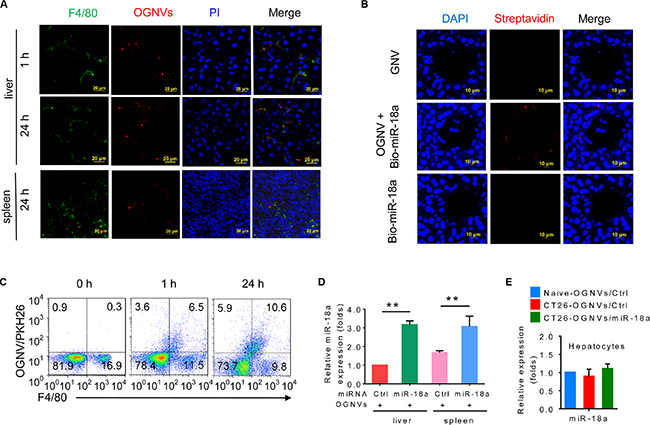 OGNV-mediated delivery of miRNA is taken up by mouse Kupffer cells in vivo