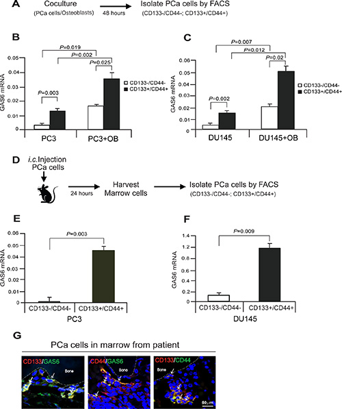 Cancer stem cells express high level of GAS6 in PCa cells in bone marrow microenvironment.