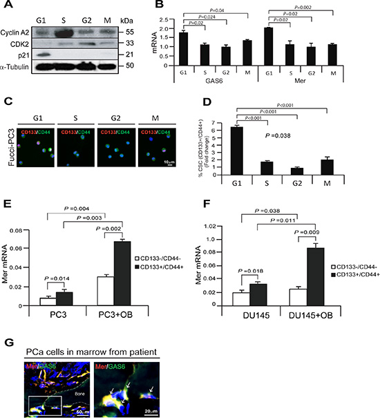 Growth arrested cells by the associating with GAS6 and Mer receptor correlate with CSC populations in PCa cells.