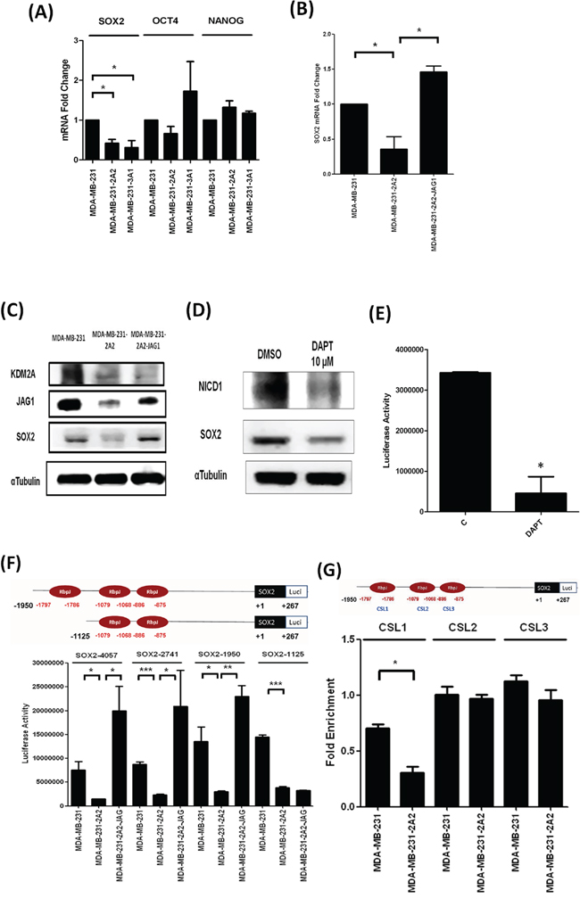 KDM2A increased cancer stemness via SOX2.