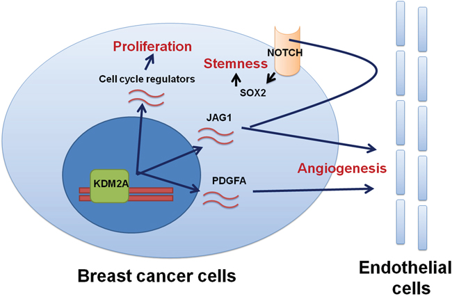 A mechanistic model shows the regulation of proliferation, stemness and angiogenesis in breast cancer by KDM2A.