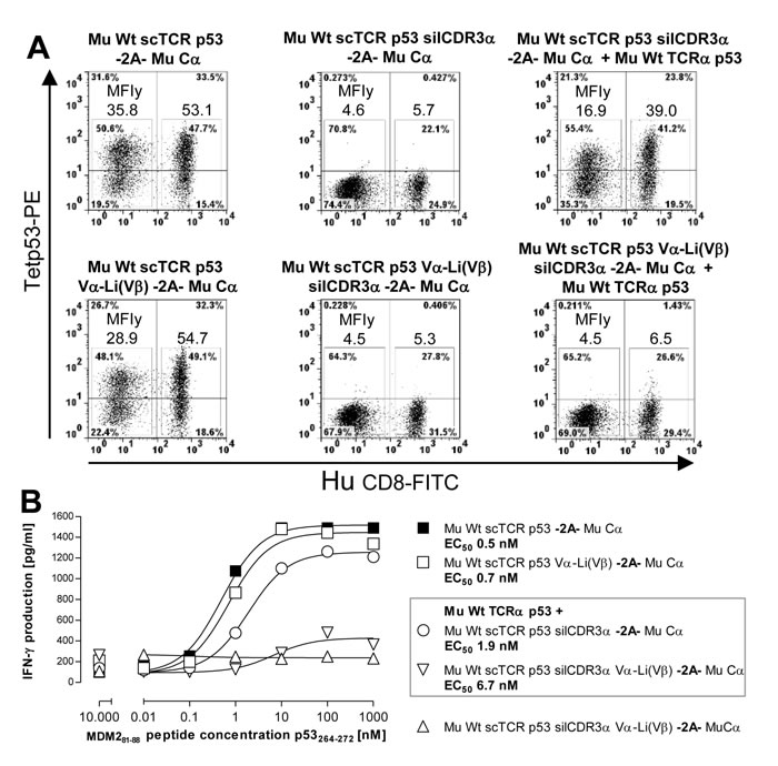 Reduction of residual mispairing in human T-cells by incorporating the novel disulfide bond into a mouse scTCR p53.