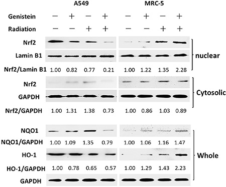 Effects of genistein on Nrf2 accumulation in the nucleus and the expression of NQO1 and HO-1 in whole protein extract.