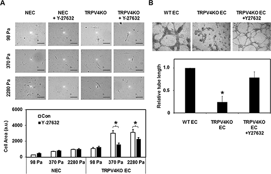 Rho kinase (ROCK) inhibition normalizes abnormal mechanosensitivity and angiogenesis exhibited by TRPV4KO EC.