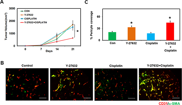ROCK inhibitor, Y-27632, in conjunction with Cisplatin, reduces tumor growth in vivo in TRPV4KO mice.