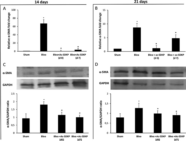 Ac-SDKP treatment inhibited the BLEO-induced α-SMA expression in mouse lung tissue at mRNA and protein level.