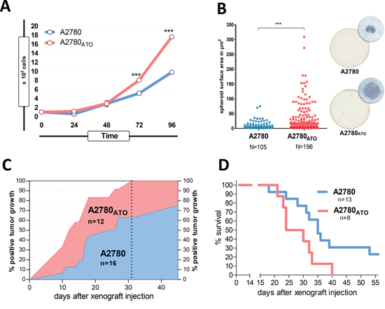 Proliferation, spheroid formation and tumorigenicity of ATO-resistant cells.