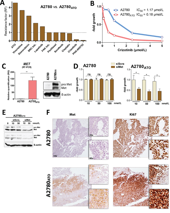 Met receptor as oncogenic driver of cell survival and proliferation.