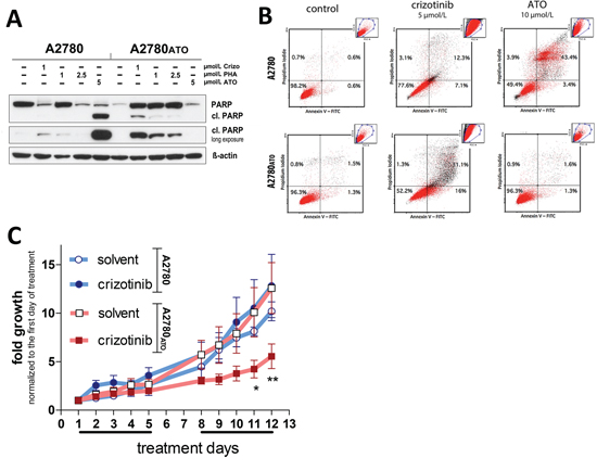 Apoptosis induction and in vivo antitumor activity of crizotinib against A2780 and A2780ATO cells and xenografts.