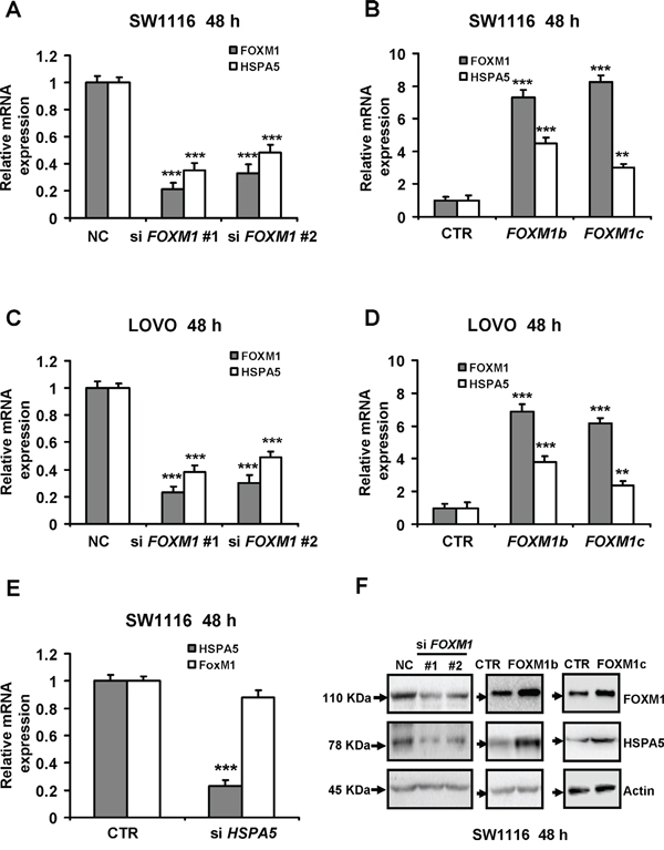 FOXM1 transcriptionally promotes HSPA5 expression in colorectal cancer cells.