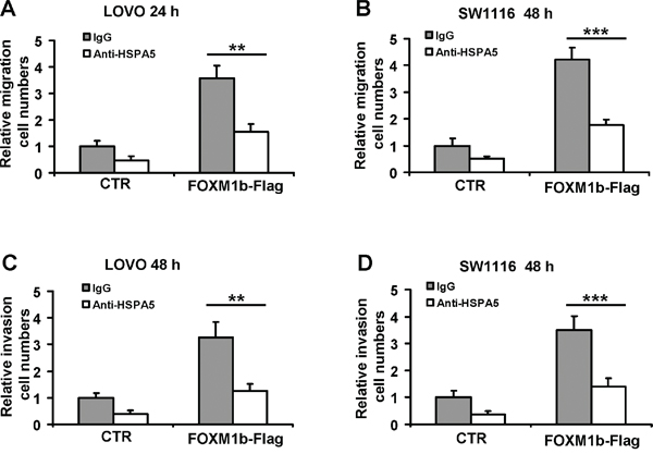 Anti-HSPA5 antibody attenuates cell migration and invasion induced by FOXM1.