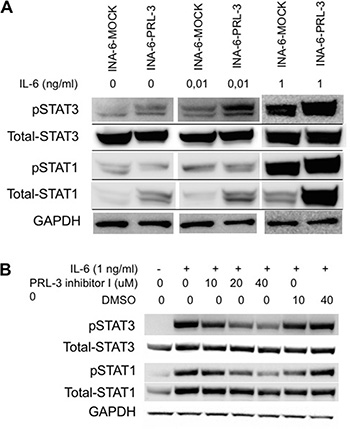 PRL-3 induces STAT-3 signaling.